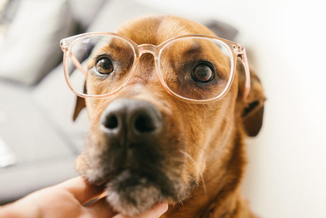 Un chien avec des lunettes